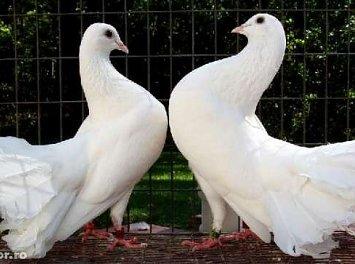 Porumbei voiajori Nunta Galati